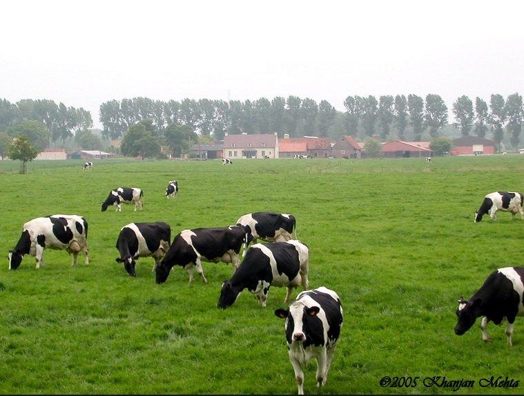 usaha peternakan sapi